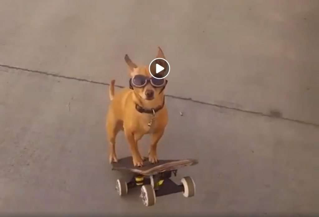 skateboarding dog wearing sunglasses
